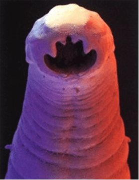 The business end of a hookworm