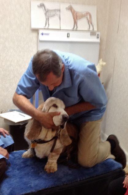 chiropractor adjusting basset hound