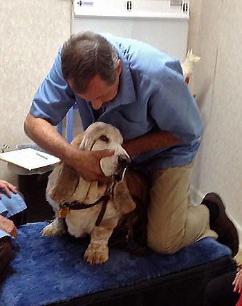 chiropractor-adjusting-basset-hound
